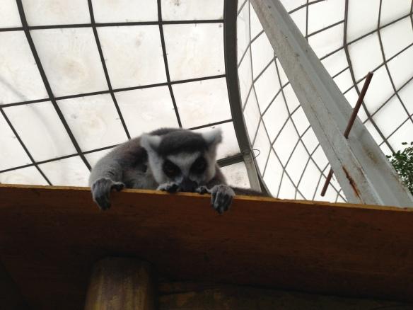 Peeking Lemur at Budapest Zoo