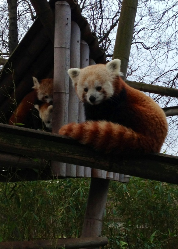 Very adorable red oanda at Paris Zoo