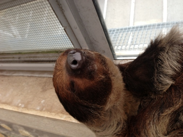 Snoozy sloth at Budapest Zoo