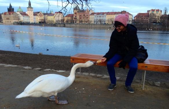 I adopted a huge swan in Prague, Czech Republic