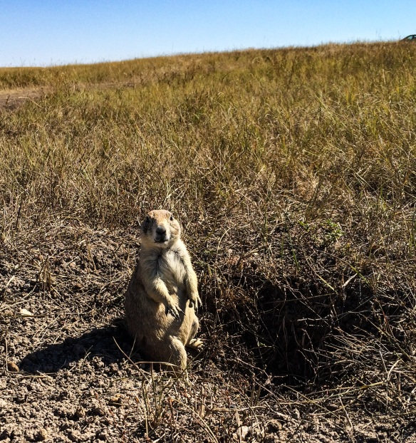 The wild prairie dog at Roberts Prairie Dog Town in Badlands National Park.